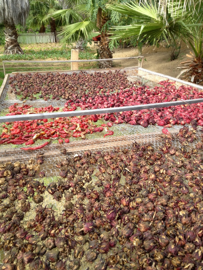 Hibiscus Drying Naturally in the Sun
