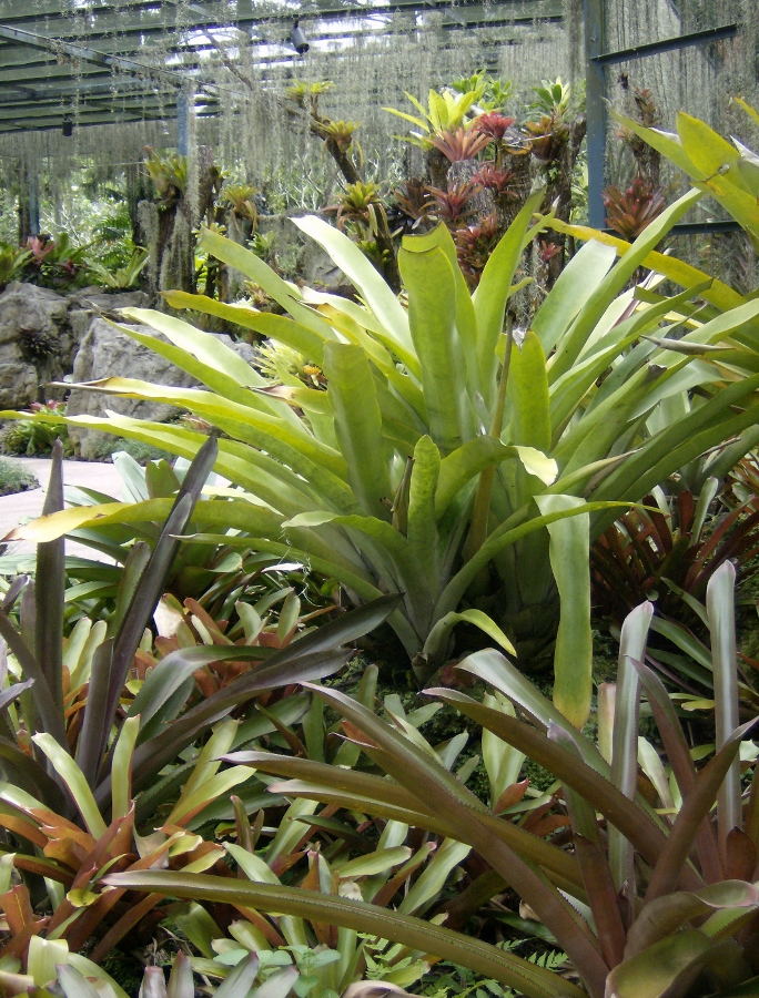 Bromeliad Collection 2 (684x900)