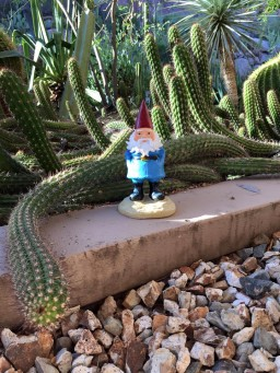 The Roaming Gnome, from Travelocity, sits in the cactus garden.  Photo taken by me.