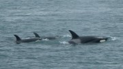 Killer Whale Pod on a Whale Watching Excursion